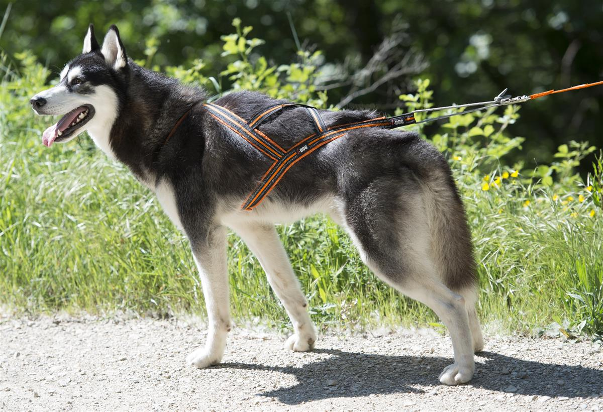 Hundesele Canicross X-Back One L Oransje i-DOG