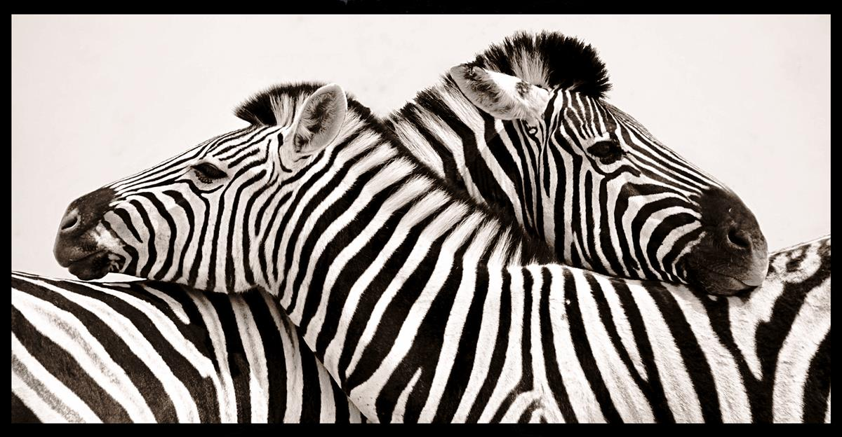 Bilde Zebras in love 138x70